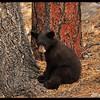 Black Bear Cub (in back yard)