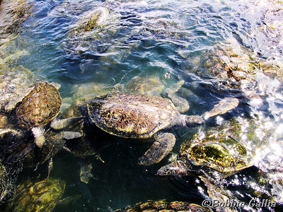 "©Bobbie Gallia; ""Sea Turtles Galore""; Green Sea Turtles at the Green Sea Turtle Farm near George Town on Grand Cayman island. The farm is home for over 16,000 turtles!"