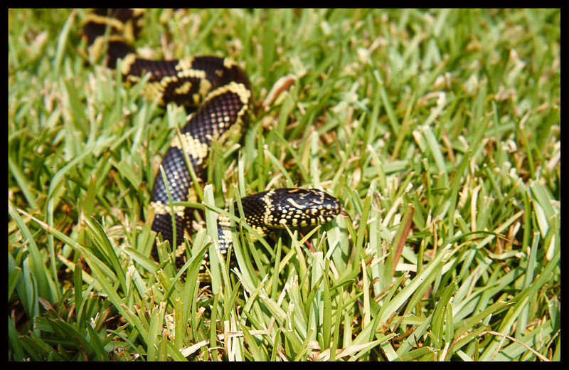 "A snake in the grass - our eastern king snake ""Fat Albert""."