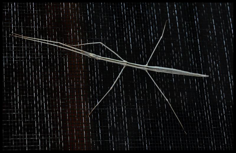 Walking Stick on Window screen.
