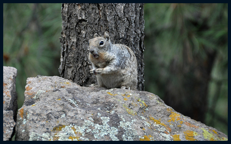 Ground squirrel with cheeks full.