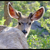 "Mule Deer Buck Yearling in Velvet, ""I'm gonna hide behind my mama until my nubbins grow into real antlers."""