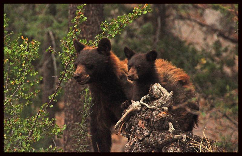 Female Black Bear with her Cub