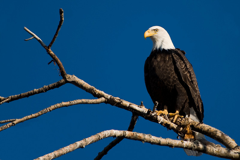 Bald Eagle just on the Montreal River in La Ronge