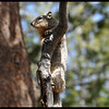 """Ground"" Squirrel in a Tree?"