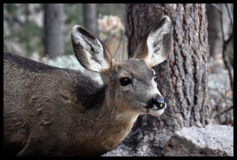 Mule Deer Yearling/Last Year's Fawn