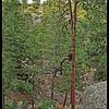 Black Bear and Cub WAY up a Tall Ponderosa Pine Tree