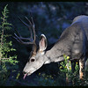 Mule Deer Buck in Ray of Light