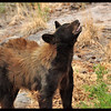 Female Black Bear (in our back yard)