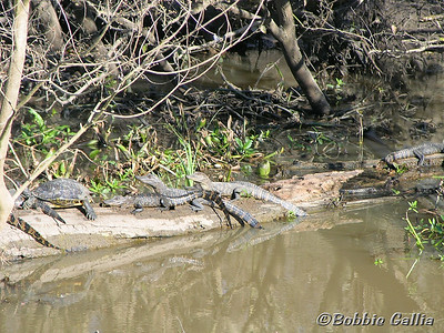 "©Bobbie Gallia; ""The Wild Bunch""; Baby alligators at Cypress Island Swamp, Louisiana. Special Award Ribbon!"