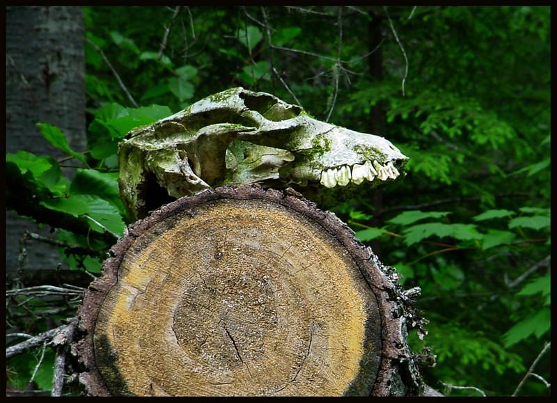 Bigfoot Skull?