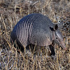 Nine Banded Armadillo in the grass.