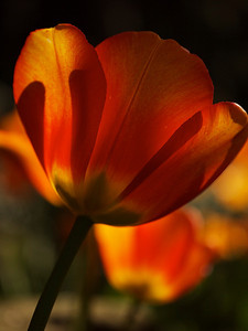 Backlit full bloom tulip