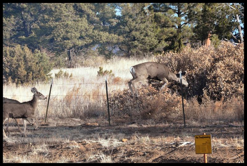 "Mule deer violating a ""No Trespassing"" order at the Los Alamos National Laboratory."