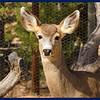 One of our mule deer does.