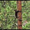 Black Bear Cub Climbing a Ponderosa Pine Tree