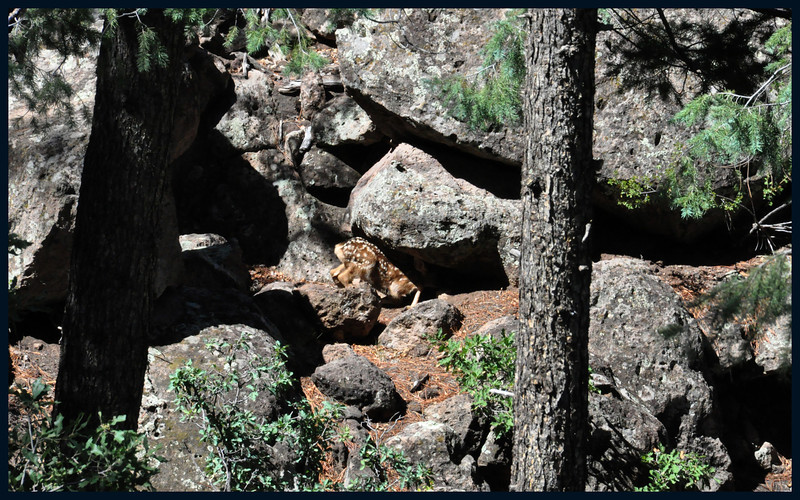 Mule Deer Fawn entering Hiding Place (under a big rock).
