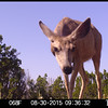 Mule deer doe Inspecting game camera on the ground which was taking it's photo.