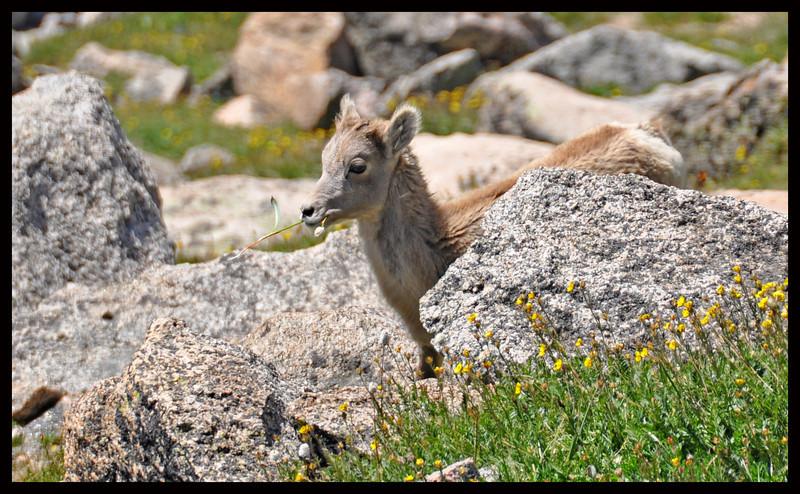 Bighorn Sheep Yearling