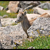 Bighorn Sheep Yearling