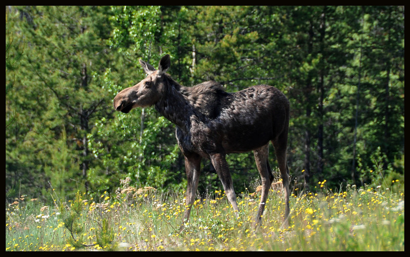 Molting moose.