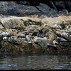 Seals on Rocks
