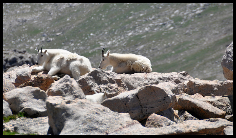 Mountain Goats with Kid (Look Closely)