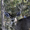 Mule deer buck hiding behind a bush.