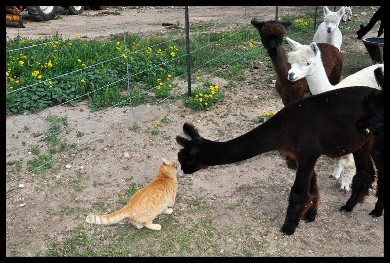 Alpaca meets Cat