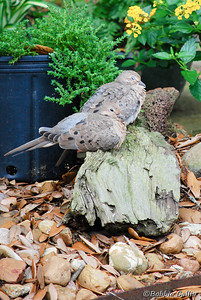 "©Bobbie Gallia; ""Resting Doves""; Mourning Doves taking a lazy siesta in our yard."