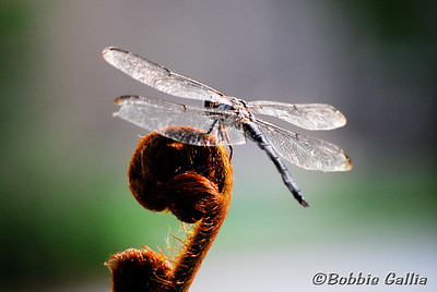 "©Bobbie Gallia; ""Dragonfly on Fern"""