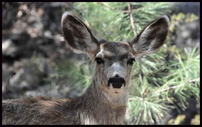 Mule Deer Buck with Antler Buds