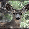 Mule Deer Buck with Antler Buds