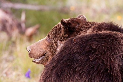 This gentle looking bear is out grazing and looking for bugs and grubs. He is known as Scarface and appears to be quite the fighter. It is estimated that he is 18 years old and weighs about 600lbs in this photo from early July. He will pack on the weight over the next two months getting ready for winter on Mount Washburn in Yellowstone.