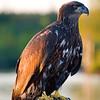 Juvenile Bald Eagle at Wollaston Lake