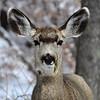 Mule deer doe with alfalfa sprig.