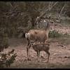 Mule Deer Doe with Fawn
