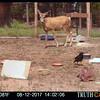 Mule Deer Doe watching a Raven