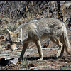 Back Yard Coyote