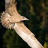 Gull at Wollaston Lake