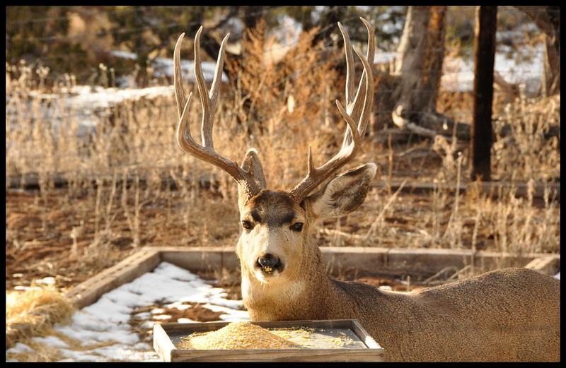 Mule deer buck with corn nose.