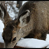Mule Deer Yearling