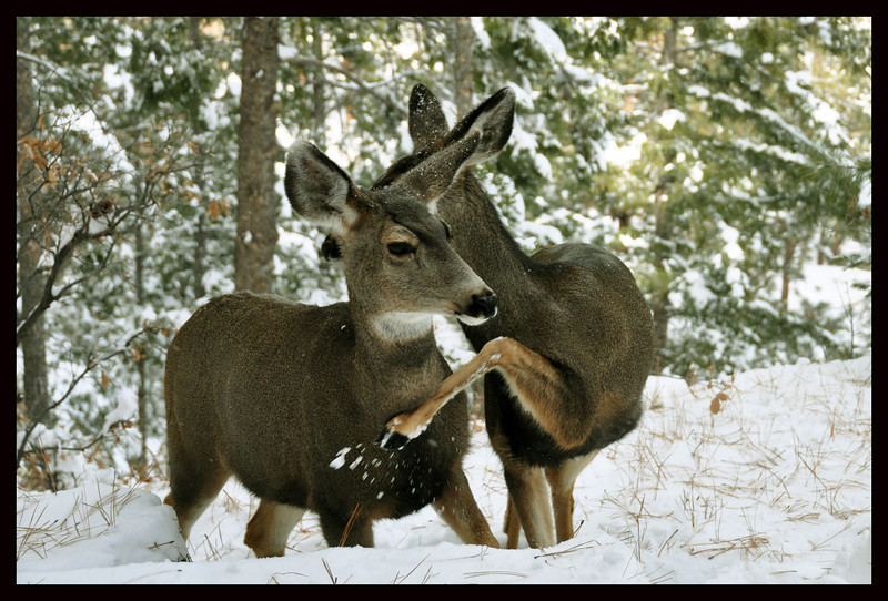 Mule Deer Does Determining Dominance