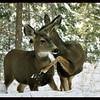 Mule Deer Does Determining Dominance