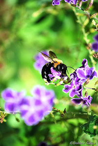 "©Bobbie Gallia; ""Busy as a Bumble Bee""; Taken in our back yard."