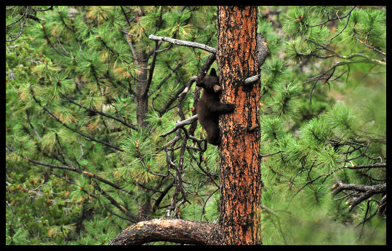Black Bear Cub up a Tree
