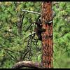 Black Bear Cub up a Tree