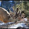 Mule Deer Clash
