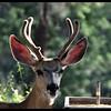Young Mule Deer in Velvet