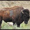 Buffalo?  Bison?
